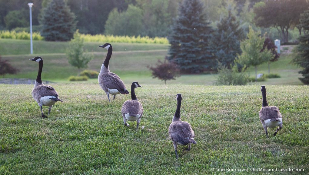 Canada Geese on Bluff Road on the Old Mission Peninsula