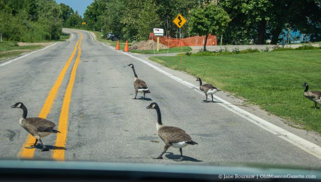 Geese on Bluff Road on the Old Mission Peninsula