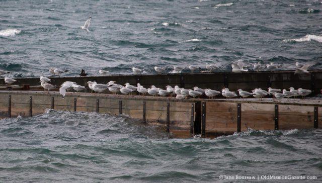 West Bay Gulls at Bowers Harbor Marina near The Boathouse on the Old Mission Peninsula