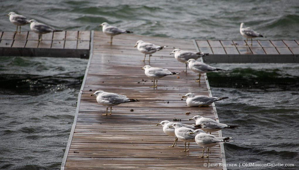 West Bay Seagulls on a dock near The Boathouse on the Old Mission Peninsula