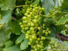 Kroupa Grapes on the Old Mission Peninsula