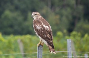 Cooper's Hawk on the Old Mission Peninsula