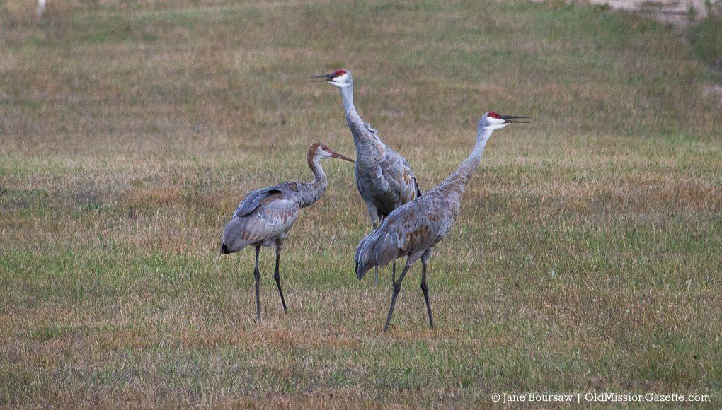 Sandhill Cranes on Brinkman Road, Old Mission Peninsula