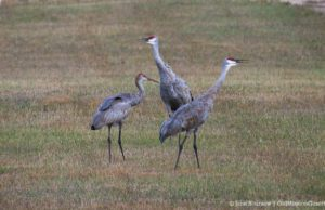 Sandhill Cranes on Brinkman Road, Old Mission Peninsula