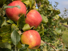 Johnson Farms apples on the Old Mission Peninsula