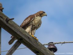 Red-Tailed Hawk on Blue Water Road near Brys Estate on the Old Mission Peninsula