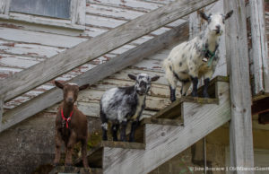 Sarah and Bret Bachert Goats in their new digs on the Old Mission Peninsula   Jane Boursaw Photo