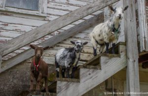Sarah and Bret Bachert Goats in their new digs on the Old Mission Peninsula | Jane Boursaw Photo