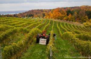 Grape Harvest on Johnson Farms on the Old Mission Peninsula and Chateau Grand Traverse