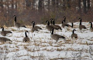 Canadian Geese on Blue Water Road on the Old Mission Peninsula