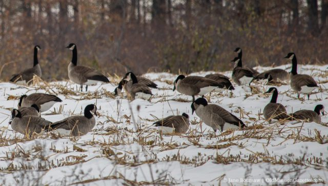 Canadian Geese in Dave Edmondson's field on Blue Water Road on the Old Mission Peninsula | Jane Boursaw Photo