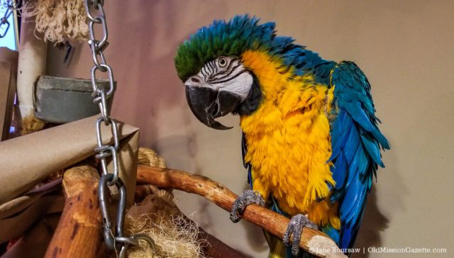 The Parrot from Buchan's Blueberry Hill