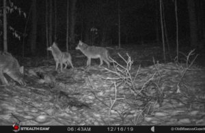 Coyotes on the Old Mission Peninsula; December 2019 | Old Mission Gazette