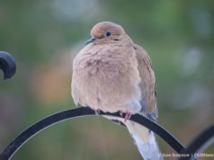 Mourning Dove on the Old Mission Peninsula
