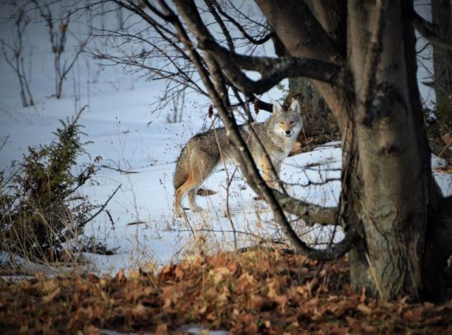 Coyote near Nelson Road on the Old Mission Peninsula | Pete Meyer Photo