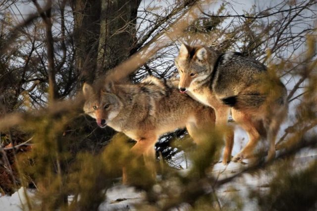 Coyotes near Nelson Road on the Old Mission Peninsula | Pete Meyer Photo