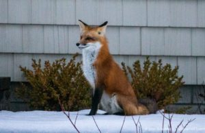 Bluff Road Fox on the Old Mission Peninsula | Jane Boursaw Photo