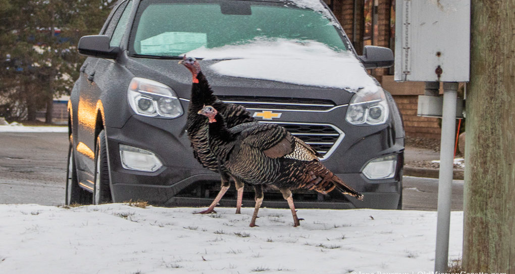 South Airport Turkeys in Traverse City Michigan