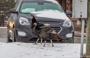 South Airport Turkeys in Traverse City Michigan