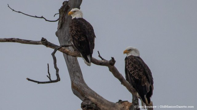 Swaney Road Eagles on the Old Mission Peninsula | Jane Boursaw Photo