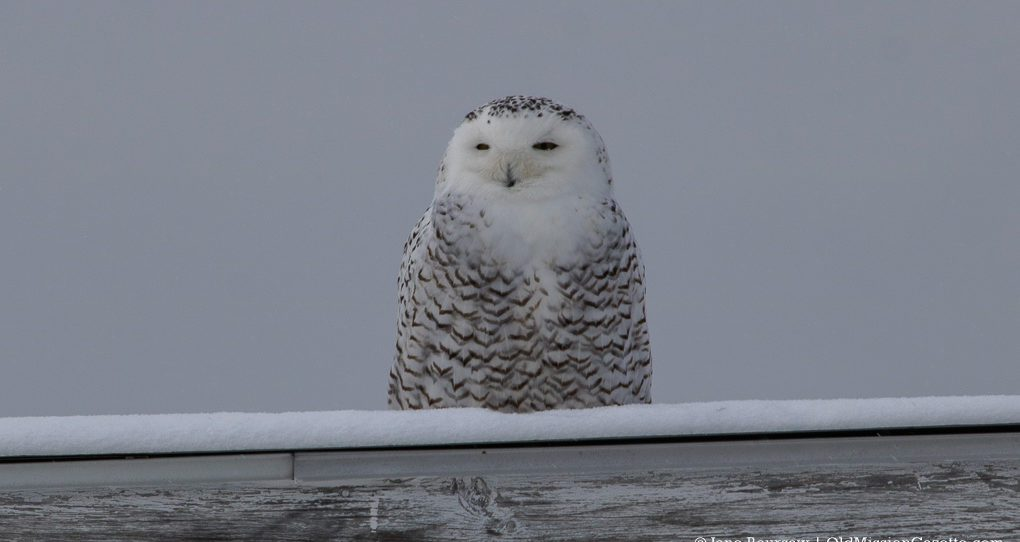 Snowy Owl on Center Road, Old Mission Peninsula