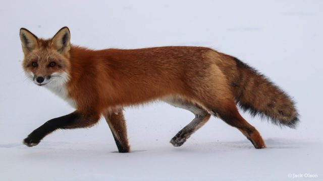 Bluff Road Fox on the Old Mission Peninsula | Jack Olson Photo