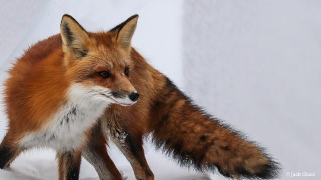 OMP Photos: Bluff Road Fox on the Old Mission Peninsula | Jack Olson Photo