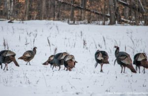 Turkeys on Blue Water Road on the Old Mission Peninsula | Jane Boursaw Photo