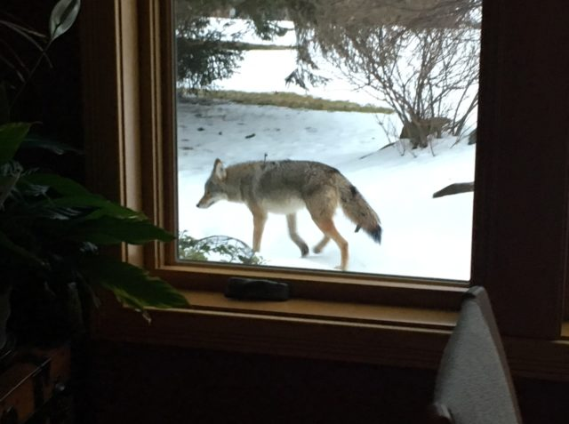 Coyote near Peninsula Drive on the Old Mission Peninsula | Curt Peterson Photo