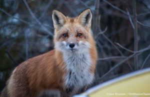 Fox on Bluff Road on the Old Mission Peninsula | Jane Boursaw Photo