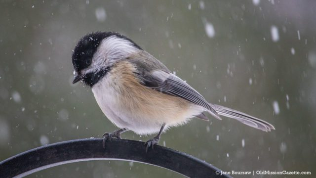 Chickadee on the Old Mission Peninsula