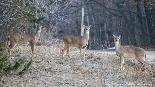 Deer on Brinkman Road on the Old Mission Peninsula | Jane Boursaw Photo