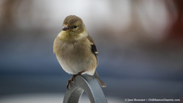 Goldfinch on Bluff Road on the Old Mission Peninsula | Jane Boursaw Photo
