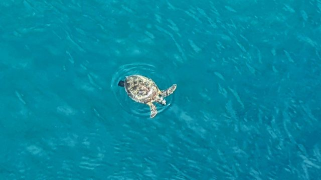 Turtle in Pago Pago harbor, American Samoa, posted on Facebook by Melissa Ball, also onboard the Norwegian Jewel, on March 16, 2020 | Melissa Ball Photo
