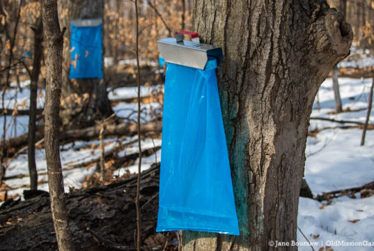 Sap's runnin' at Old Mission Maple on the Old Mission Peninsula | Jane Boursaw Photo