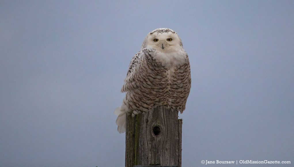 Snowy Owl on Blue Water Road on the Old Mission Peninsula