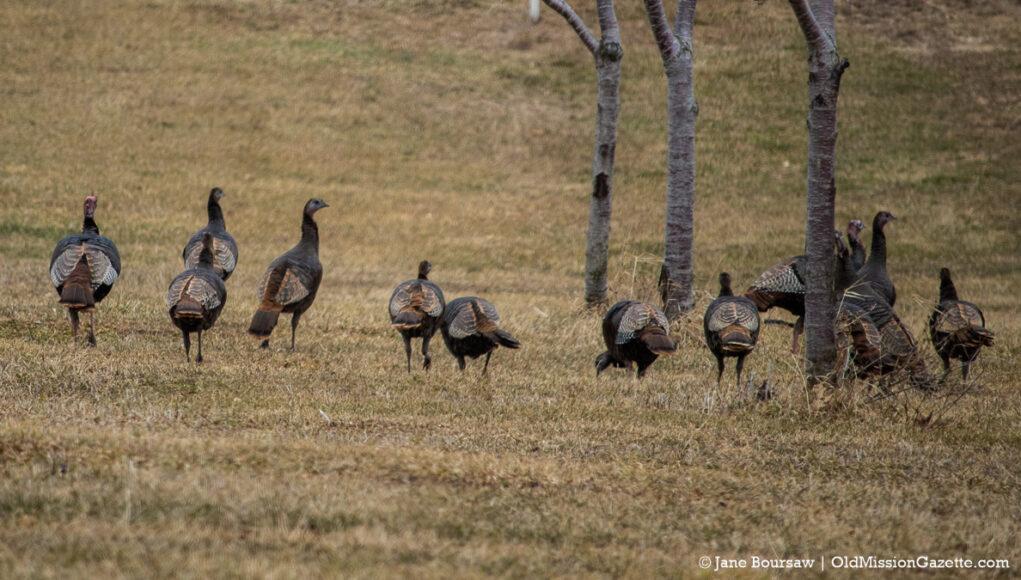Turkeys on Brinkman Road on the Old Mission Peninsula | Jane Boursaw Photo