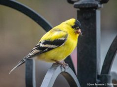 Bluff Road Goldfinch on the Old Mission Peninsula | Jane Boursaw Photo