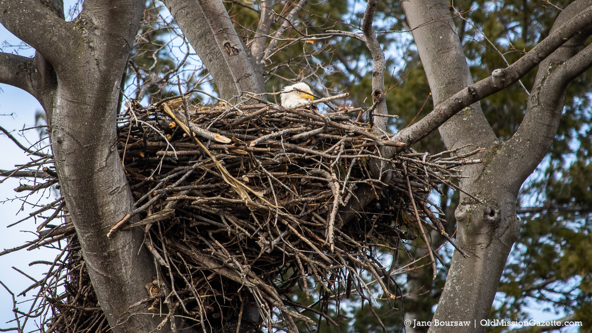Bald Eagle's Nest on the Old Mission Peninsula | Jane Boursaw Photo