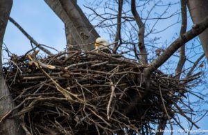 Bald Eagle's Nest on the Old Mission Peninsula | Jane Boursaw Photo