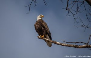 Bald Eagle on the Old Mission Peninsula | Jane Boursaw Photo