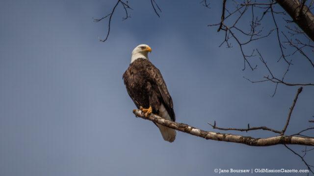 Bald Eagle on the Old Mission Peninsula | Jane Boursaw Photo