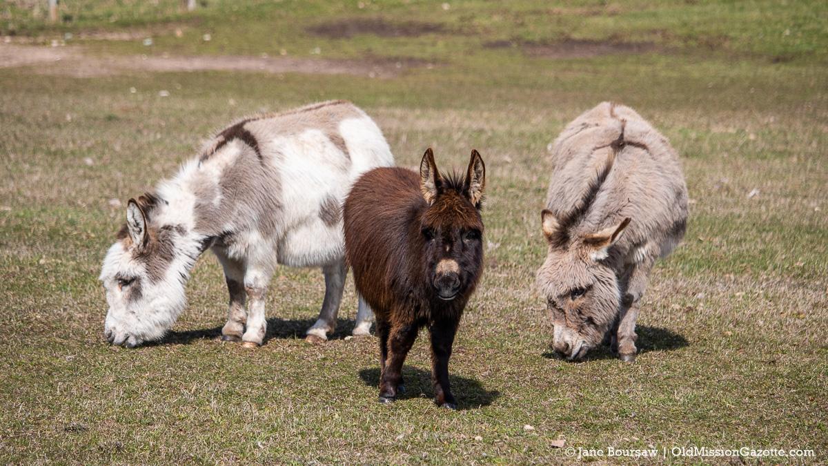Miniature Donkeys(?) at Ligon's Farm on the Old Mission Peninsula | Jane Boursaw Photo