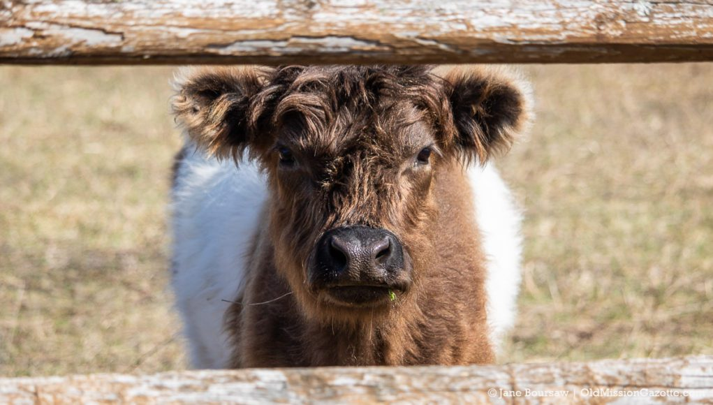 Swaney Road Cow on the Old Mission Peninsula | Jane Boursaw Photo