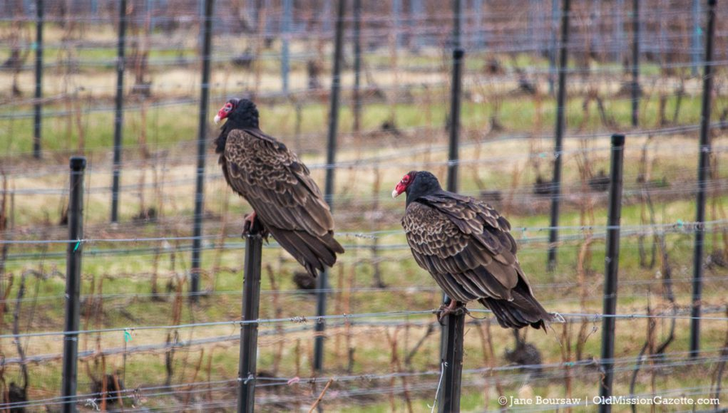 Turkey Vultures at Brys Estate Vineyard and Winery | Jane Boursaw Photo
