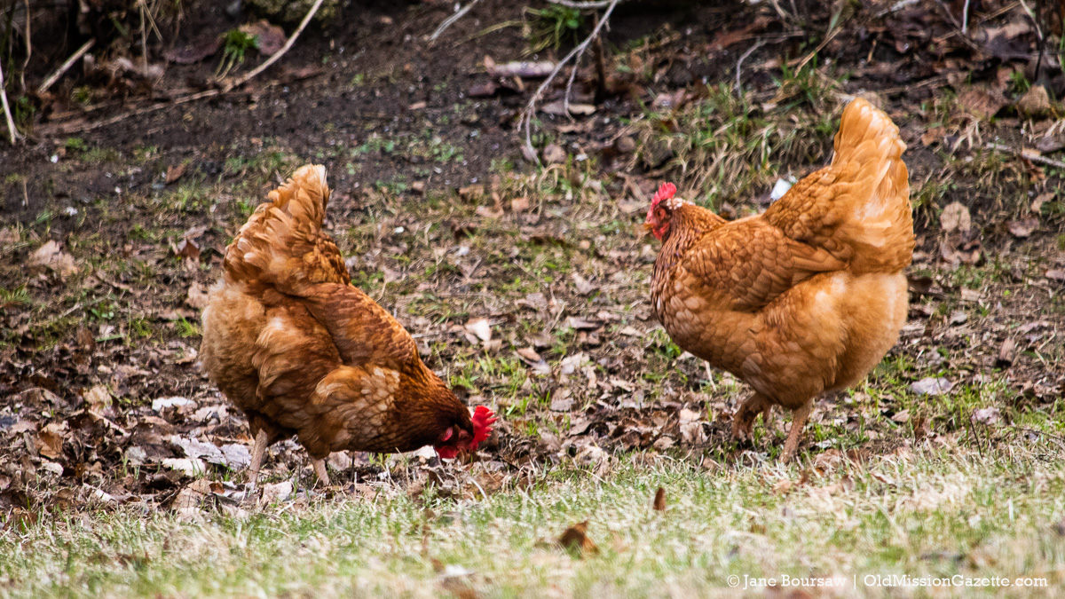 Warren Orchards' chickens on Island View Road on the Old Mission Peninsula | Jane Boursaw Photo