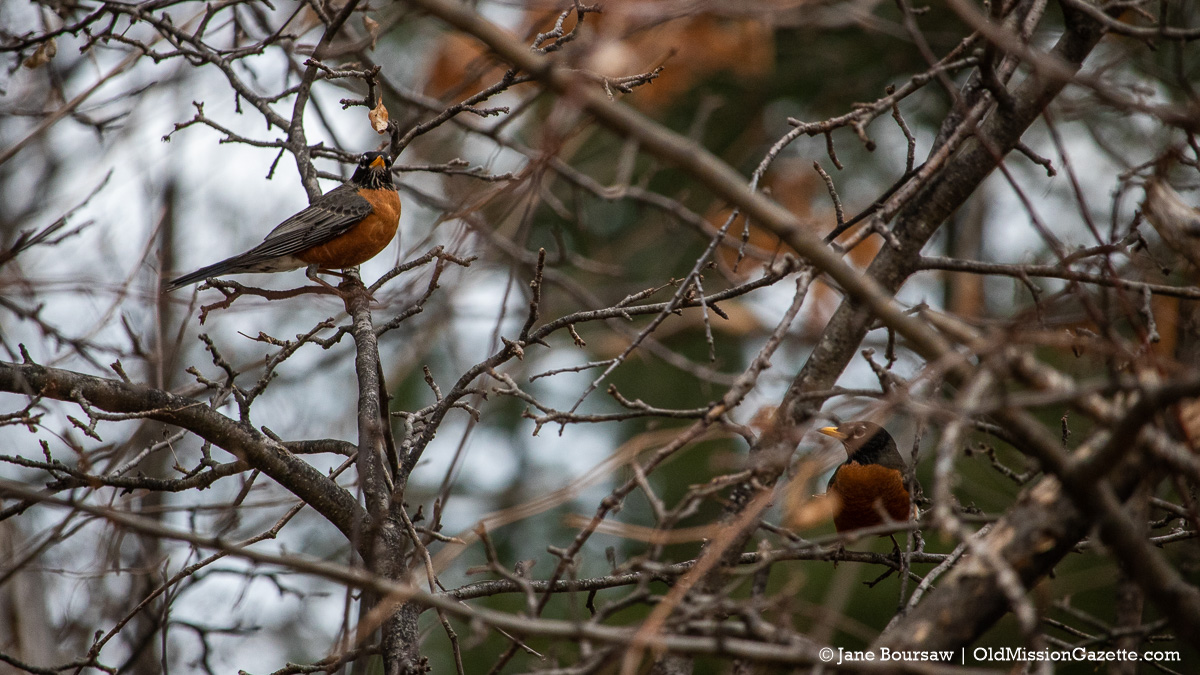 First Robin at Old Mission Post Office on the Old Mission Peninsula | Jane Boursaw Photo