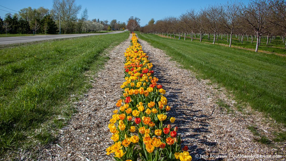 Tulips on Bern and Cheryl Kroupa's farm on Center Road on the Old Mission Peninsula | Jane Boursaw Photo