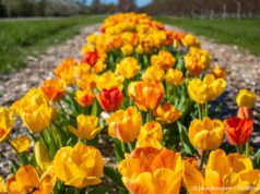 Tulips on Bern and Cheryl Kroupa's farm on Center Road on the Old Mission Peninsula   Jane Boursaw Photo