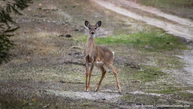 Social-distancing deer in Old Mission, Michigan | Jane Boursaw Photo